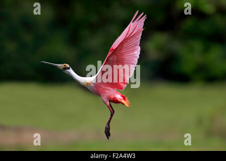 Roseate spoonbill (Ajaia ajaja), adult flying, Pantanal, Mato Grosso, Brazil - Stock Photo