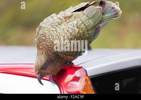 Kea Parrot landed on tourist's car at Fiordland National Park, New Zealand - Stock Photo