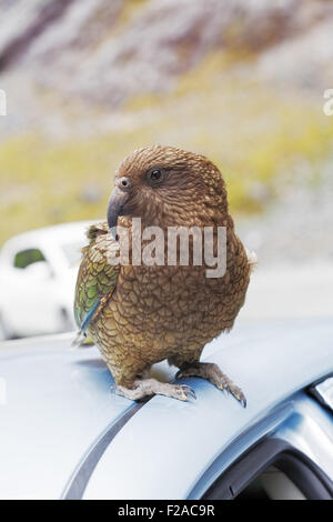 Kea Parrot landed on tourist's car at Fiordland National Park, New Zealand - Stock Photo