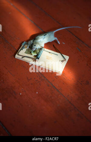 Common house mouse The Mousetrap, dead, caught, killed - Stock Photo