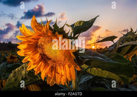 Closeup of sunflower in the field facing away from the setting sun - Stock Photo