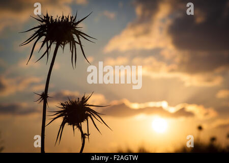 Desert thistle silhouette closeup with blurred orange sunset in background - Stock Photo