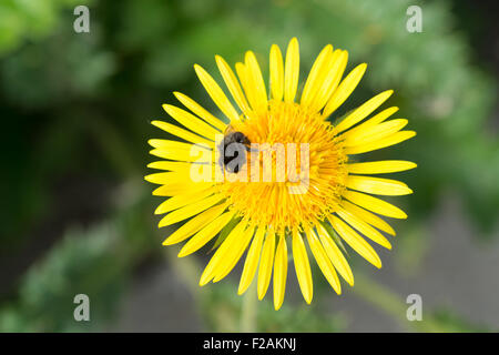 Canadanthus yellow florets in flowers with bee - Stock Photo