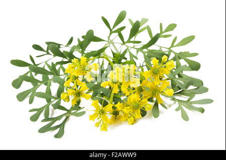 Herb of Grace flowers and leaves isolated on white - Stock Photo