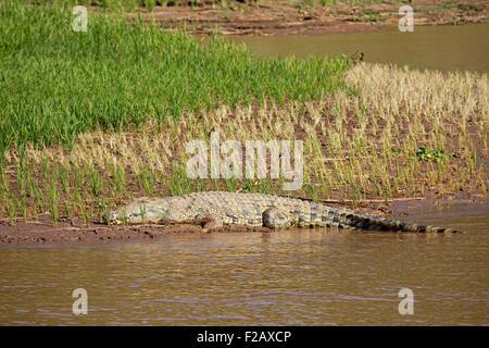 Nile crocodile (Crocodylus niloticus) sleeping in rice paddy on riverbank of Tsiribihina / Tsiribinha river, Menabe, - Stock Photo