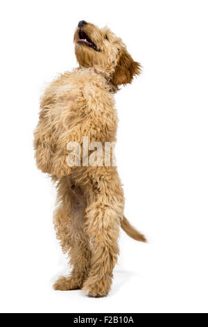Four month old Cockapoo puppy standing with white background - Stock Photo