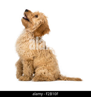 Four month old Cockapoo puppy sitting with white background - Stock Photo