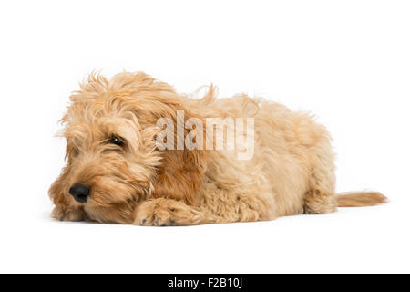 Four month old Cockapoo puppy laying with white background - Stock Photo