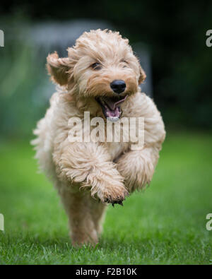 Four month old Cockapoo puppy running in garden - Stock Photo