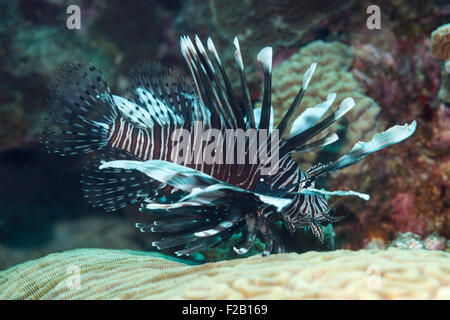Lionfish (Pterois volitans), a venomous, coral reef fish. - Stock Photo