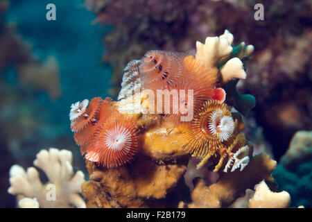 Corals and christmas tree worms in the Caribbean sea. Photo V.D. - Stock Photo