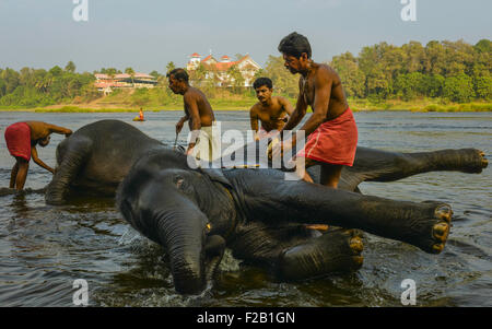 Trainers bathe young elephants in the Periyar river as part of training regimen at dawn . - Stock Photo
