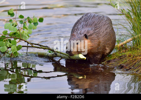 An adult beaver 'Castor canadenis', pulling a tree branch that he has cut for food - Stock Photo