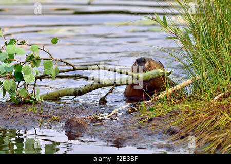 A beaver  'Castor canadenis', pulling a tree branch out of the water and up on the shore to feed on its leaves and - Stock Photo