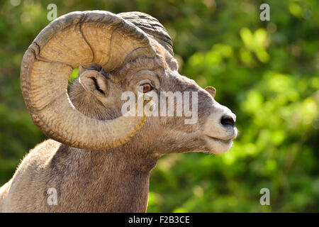 A side view portrait image of a wild rocky mountain bighorn sheep  Orvis canadensis; showing the growth rings in - Stock Photo
