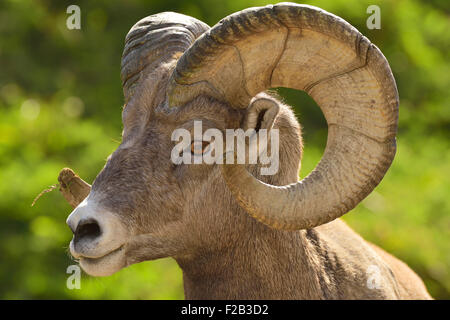 A close up side view of a rocky mountain bighorn ram, Orvis canadensis;showing the growth rings in the curl of his - Stock Photo