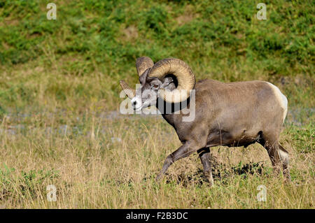 A side view wild bighorn ram  Orvis canadensis; with large horns walking along a hill side with lush vegetation - Stock Photo