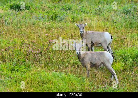 Two young rocky mountain bighorn sheep Orvis canadensis; standing in the lush vegetation on a side hill near Cadomin - Stock Photo