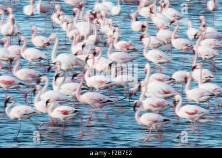 A flock of Lesser and Greater Flamingo, Phoeniconaias minor and Phoenicopterus roseus, Walvis Bay, Namibia - Stock Photo