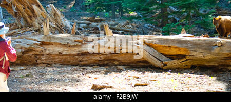 Tourist looking at a Brown bear (Ursus Arctos) walking on a fallen tree, Yosemite Valley, Yosemite National Park, - Stock Photo
