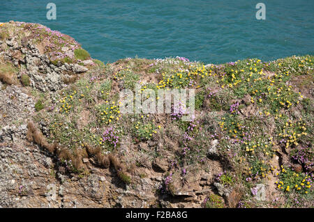 Colourful spring wildflowers on cliffs in Pembrokeshire, West Wales. The sea seen behing the cliff edge. - Stock Photo