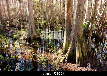 Bald cypress trees in the Highland Hammocks State Park, Florida. - Stock Photo
