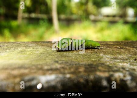 Caterpillar of Blue Mormon - Stock Photo