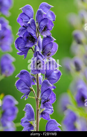 Monkshood (Aconitum) with inflorescence, Germany - Stock Photo