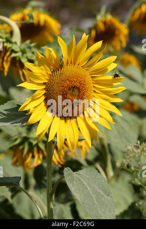 Field of Sunflowers growing in south west France focusing on a single sunflower including two worker bees - Stock Photo
