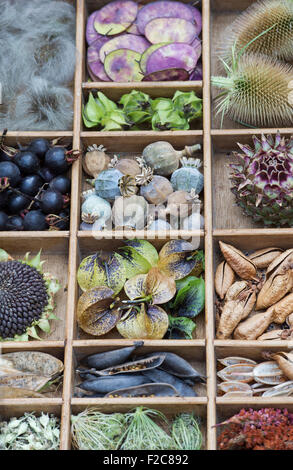 Collection of dried flower seed pods and seeds from the garden in a wooden tray - Stock Photo