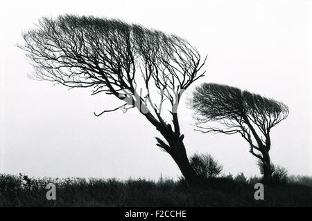 Windswept Oak trees in winter, Black and white, oak, tree, silhouette - Stock Photo