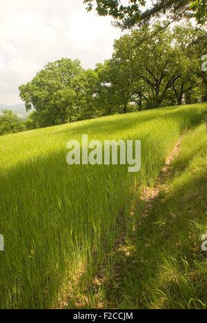 crops ripening in the sun, field of crops, summer field, landscape, green, hill, cornfield, growing, planting, English - Stock Photo