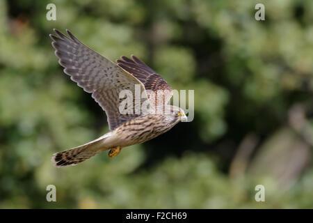 Common Kestrel (Falco tinnunculus) flying against trees - Stock Photo