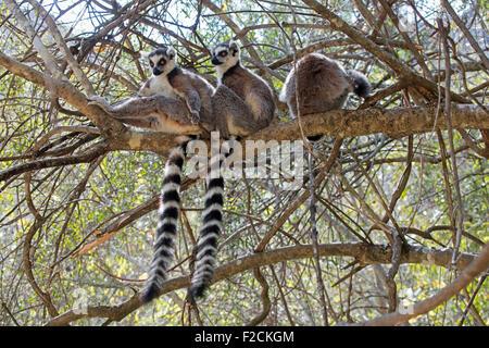 Ring-tailed lemurs (Lemur catta) sitting in tree, Isalo National Park near Ranohira, Ihosy, Ihorombe, Madagascar, - Stock Photo