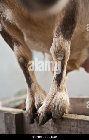 Legs Of A Goat Stock Photo 59257310 Alamy