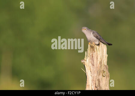 Cuckoo (Cuculus canorus) perched on tree stump calling - Stock Photo
