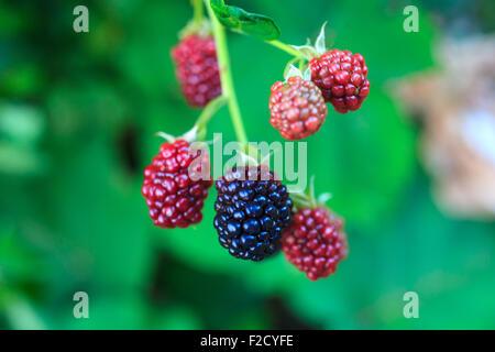 hala fruit blackberry fruit