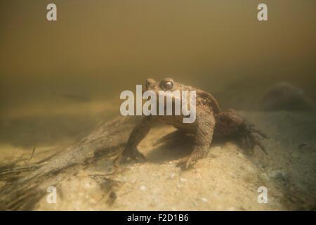 Bufo bufo / Common Toad / Crapaud commun / Erdkroete under water during their breeding season. - Stock Photo