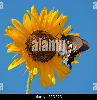 Green Swallowtail butterfly on Sunflower against blue summer sky - Stock Photo
