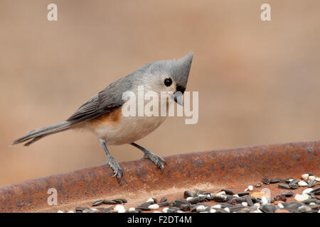 Cute little Tufted Titmouse at a feeding station looking for seeds - Stock Photo