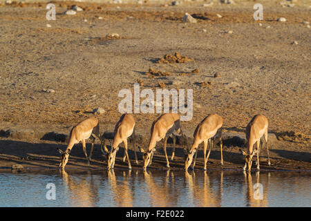 Black-Faced Impala (Aepyceros melampus petersi), group of females and one juvenile male, drinking at a waterhole - Stock Photo