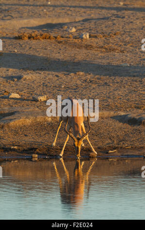 Black-Faced Impala (Aepyceros melampus petersi), male, drinking at a waterhole in the last light of the evening - Stock Photo