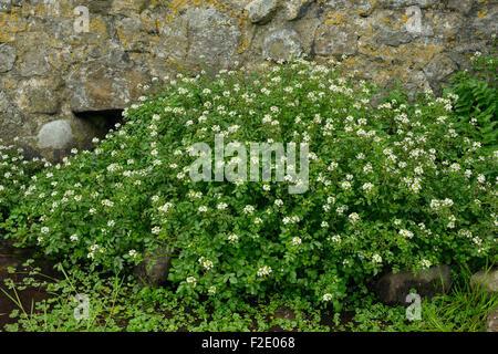 Water-cress - Rorippa nasturtium-aquaticum Mass of plants by spring Stock Photo