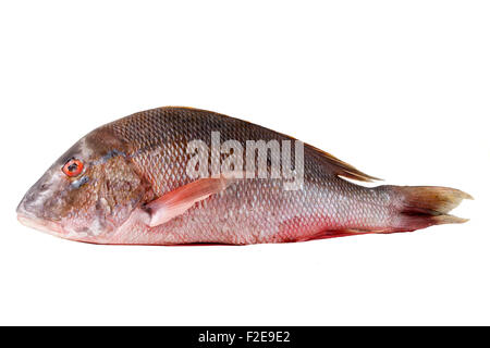 Raw clever red snapper for chance photographed on white background - Stock Photo