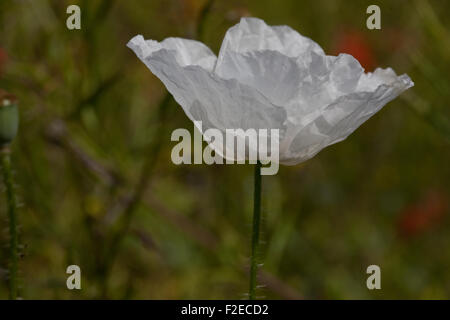 White poppy amidst red poppies in a meadow in Yorkshire, England - Stock Photo