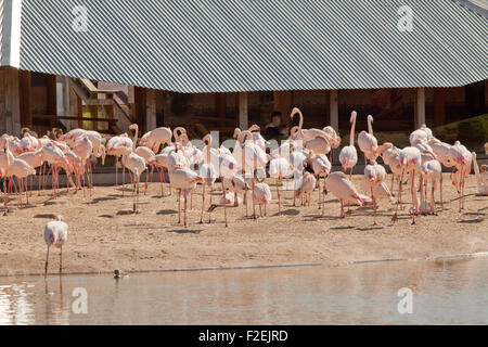 Greater Flamingos (Phoenicopterus roseus). Colony exhibit. Visitor's observation pavilion in the background. WWT, - Stock Photo