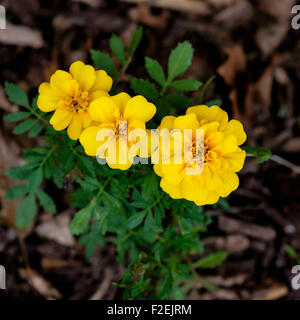Three bright yellow French marigold flowers in a garden bed. Oklahoma, USA. - Stock Photo