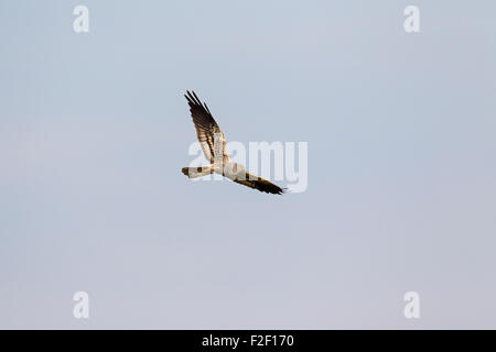 Montagu's harrier (Circus pygargus), male in flight - Stock Photo