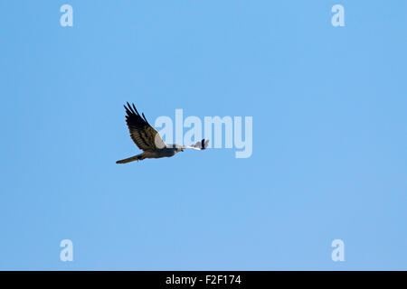 Montagu's harrier (Circus pygargus), male in flight against blue sky - Stock Photo