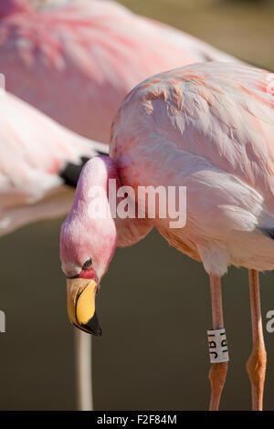James's, or, Puna Flamingo (Phoenicoparrus jamesi). Close up of head showing distinctive red skin facial area,  - Stock Photo